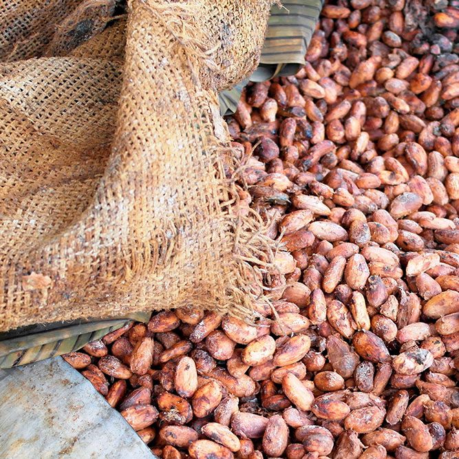 Cacao Trace: Cacao Beans Fermenting with Burlap