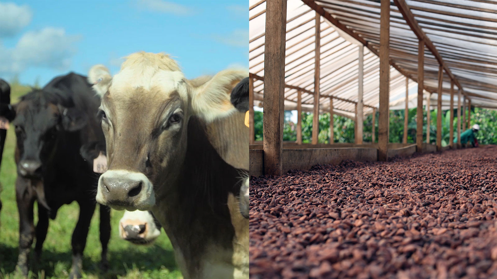 Kindred Creamery Farm and Cacao Trace Cocao Bean Fermentation