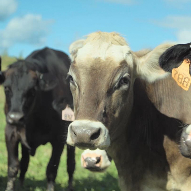 Kindred Creamery: Kindred Creamery Cows